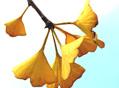 银杏叶胶囊抗病毒药