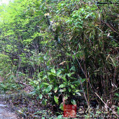 香樟木、蚕砂各30—60g,煎水外洗。