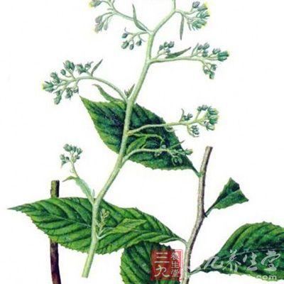 为伞形科多年生草本植物藁本的根茎.