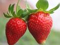 洗草莓不摘草莓蒂