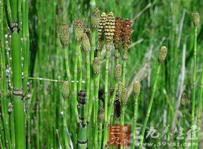 木贼科植物木贼的干燥全草