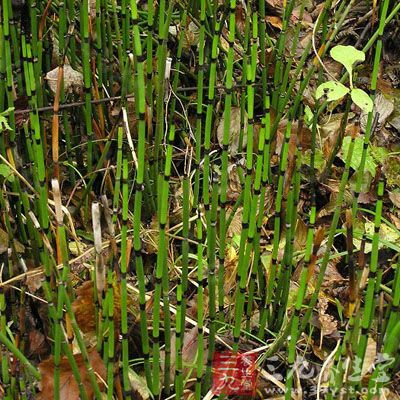 是木贼科植物木贼的全草 ,呈长管状,中空有节