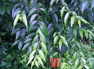 苦丁茶的功效与作用 了解苦丁茶的三大作用