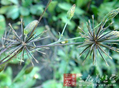 豨莶草 - 第1张  | 中草药图片大全-中药的功效与作用