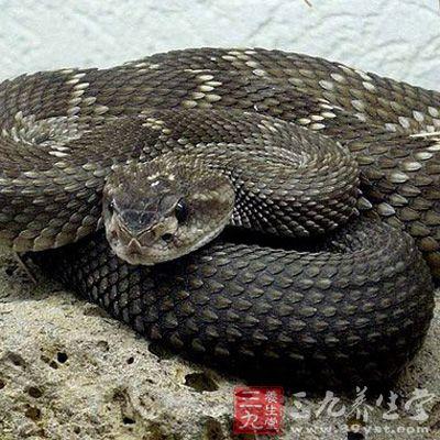 蛇胆是什么 蛇胆的功效与作用有哪些(12)