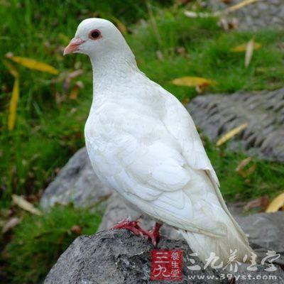 白鸽是扶助阳气强身的妙品,它具有补益肾气、强壮性机能的作用