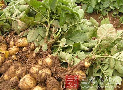 专家称土豆主食化靠谱能制成面条馒头