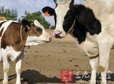 """""""鉴于这些牛属于转基因动物,因此其体内不会产生牛只的抗体,而是人类"""