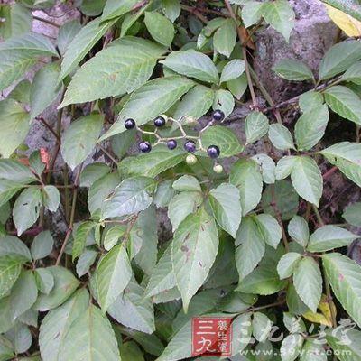乌金木树叶图片