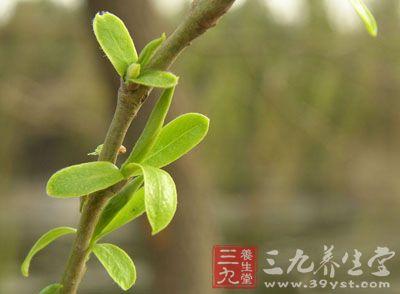 为禾本科植物赖草的根