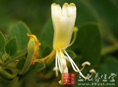 金银花的功效与作用 金银花的七大用途