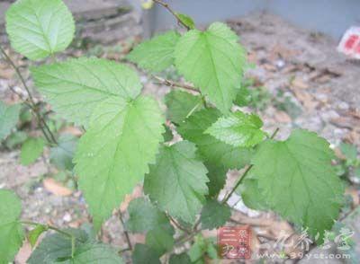 药材基源:为芸香科植物山吴萸的叶
