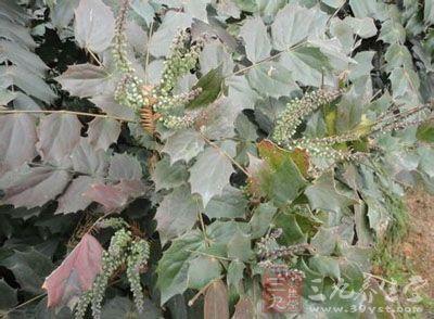为小檗科植物阔叶十大功劳或华南十大功劳的根