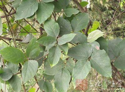 来源   药材基源:为豆科植物长荚油麻藤的老茎.