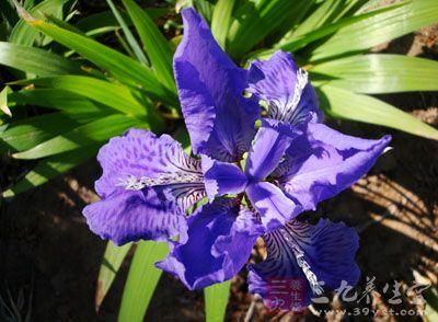 茎9�biˮx��_来源   为百合科植物柄叶开口箭的根茎.全年可采.