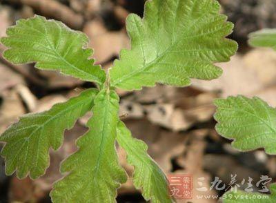 柞树的叶子,形大如荷叶