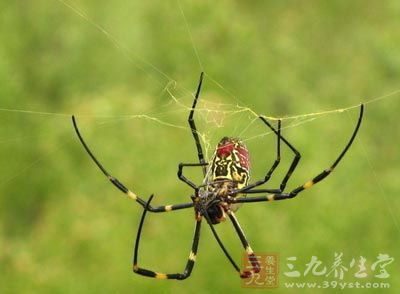 【来源】节肢动物门蛛形纲金蛛科金蛛,以全虫入药.