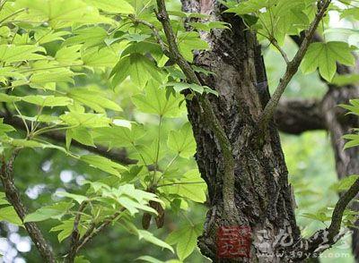 刺楸树根的药用价值与应用