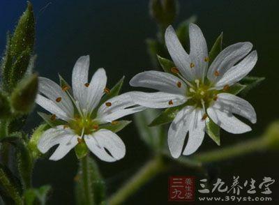 药材基源:为石竹科植物叉歧繁缕的根或全草