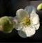 秋海棠花的药用价值与应用