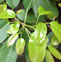 雀榕叶的药用价值与应用