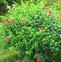 蜀葵花的药用价值与应用