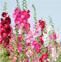 蜀葵的药用价值与应用