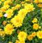 线叶金鸡菊的药用价值与应用
