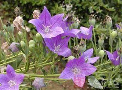 兰花参,多年生草本,高约30厘米。直根较粗壮,甚长