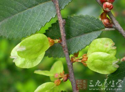 榔榆叶 - 第1张  | 中草药图片大全-中药的功效与作用
