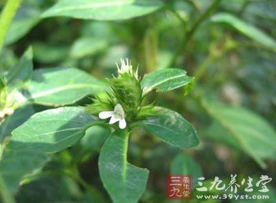 鳞花草,多年生草本,高30-60cm.茎直立或下部伏地