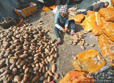 济南土豆芽长好几厘米 整理后接着卖