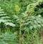 楤木叶的药用价值与利用