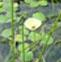 冠果草的药用价值与利用