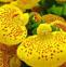 荷苞花的药用价值与利用