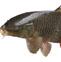 鲢鱼的药用价值与应用