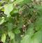 野花椒的药用价值与应用