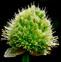 葱花的药用价值与应用