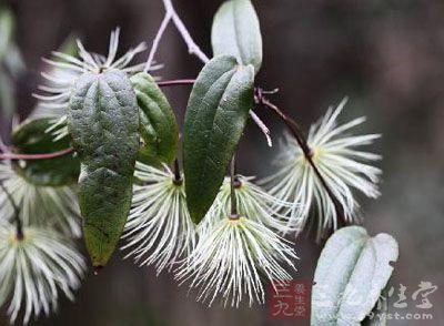 毛莨科植物单叶铁线莲的根或叶