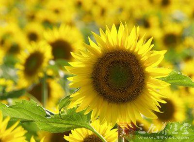 菊科向日葵属植物向日葵以花序托(花盘)、根、茎髓、叶及种子入药