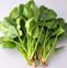 菠菜的药用价值与应用