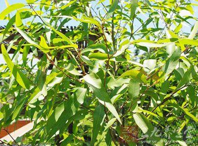 桉树与泓森槐的区别