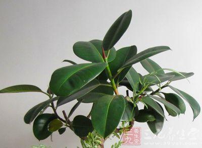 是著名的盆栽观叶植物