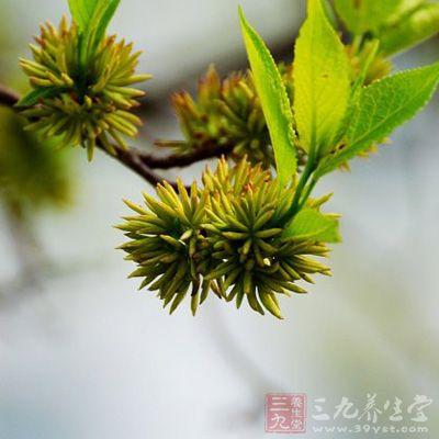 杜仲茶(3)
