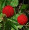 结根草莓的药用价值与应用