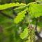 辽东栎的药用价值与应用