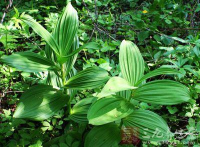 药材基源:为百合科植物黑紫藜芦的根茎及根