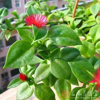穿心莲为爵床科植物穿心莲的全草或叶