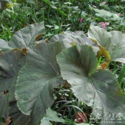 秋海棠茎叶-三九养生堂养生百科