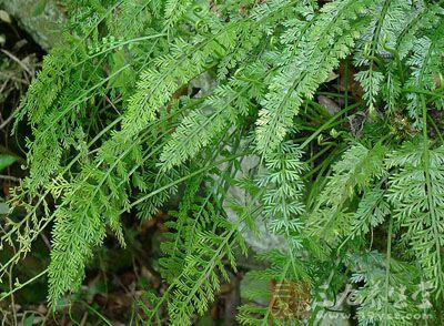 铁角蕨科植物长叶铁角蕨的带根全草